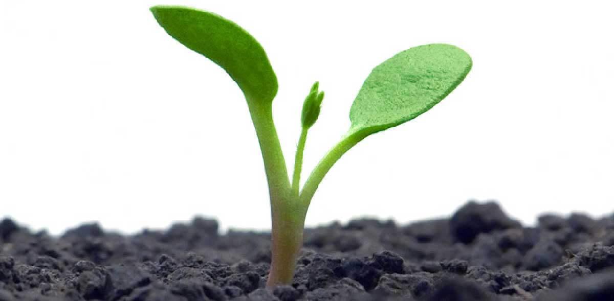 Mijö - grodd - planta